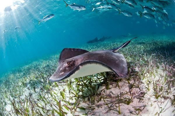 Sting ray in Hol Chan Marine Reserve, Belize
