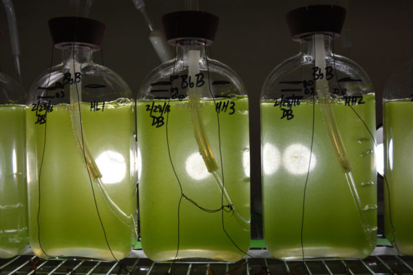 Technologies such as algal biofuels are not currently being produced at scale. Image: AgriLife Today, creative commons licence