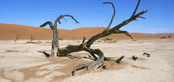 Dead tree in a desert